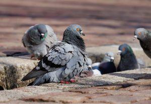 Las palomas un peligro